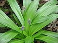 Scilla lilio-hyacinthus buds.jpg