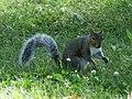 Sciurus carolinensis (Sciuridae), Niagara (NY), United States.jpg