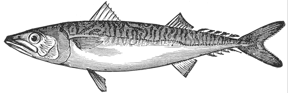 Scomber scombrus illustration