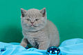 Scottish fold , straight 04.JPG