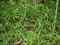 Scutellaria violacea B.Heyne ex Benth. (14576912901).jpg