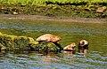 Seals, River Bann near Coleraine - geograph.org.uk - 1912709.jpg