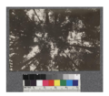 Secondgrowth Redwood Yield Study. South fork of Gualala - plot -6. View of crowns in very dense stand of pure redwood 23 years old. 21 M.B.M. per acre. This stand contained 1840 trees per acre. D. Bruce - Oct. 1922.png