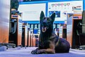 Security is guaranteed with the help of police dogs (47935714938).jpg