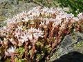 Sedum anglicum subsp. pyrenaicum (15134655196).jpg