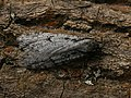Semioscopis avellanella - Весенняя моль пухокрылая (41617708041).jpg