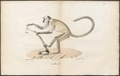 Semnopithecus entellus - 1700-1880 - Print - Iconographia Zoologica - Special Collections University of Amsterdam - UBA01 IZ19900015.tif