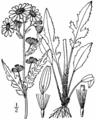 Senecio plattensis-linedrawing.png