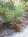 Serenoa repens 006 by Scott Zona.jpg