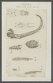 Serpula gigantea - - Print - Iconographia Zoologica - Special Collections University of Amsterdam - UBAINV0274 102 20 0028.tif