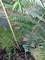 Serre-fougeres-Plantes-Paris 04 Angiopteris palmiformis.JPG