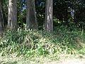 Setaria palmifolia habit4 (7411095496).jpg
