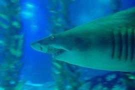Shark, Lisbon Oceanarium.jpg