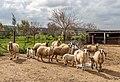 Sheep in Dipkarpaz, Northern Cyprus.jpg