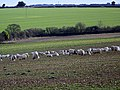 Sheep near Chettle - geograph.org.uk - 1182951.jpg