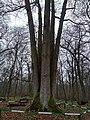 Shestystovburne oak tree3.jpg