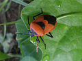 Shield bug (Pentatomidae genus) at Bhadrachalam 04.JPG