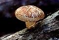 Shiitake mushroom.jpg