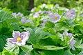 Shiraneaoi Japanese Wood Poppy (257566667).jpeg