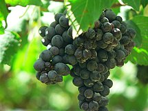Clusters of Syrah/Shiraz grapes