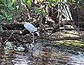Shore birds, mangrove tour (24569810301).jpg