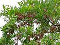 Silver Cluster-leaf (Terminalia sericea) (8389262277).jpg