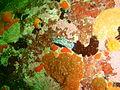 Silver tip nudibranch at Pinnacle PB022192.JPG