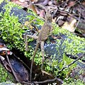 Sinharaja Rain Forest, Sri Lanka - panoramio (11).jpg