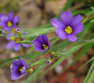 Sisyrinchium - Sisyrinchium bermudiana L. (type species)