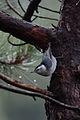 Sita Pecho Blanco, White Breasted Nuthatch, Sitta carolinensis (15075629909).jpg