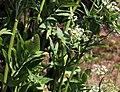 Sium latifolium Prague 2012 2.jpg