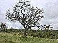 Skeletal tree on Dartmoor (42878648190).jpg