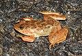 Skittering Frog Euphlyctis cyanophlyctis by Dr. Raju Kasambe DSCN0020 (4).jpg