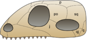 The original synapsid skull structure has one hole behind each eye, in a fairly low position on the skull (lower right in this image).