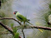 Green parrot with darker wings, blue nape, and dark grey head