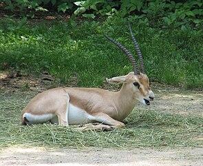 Slender-horned Gazelle.jpg