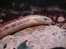 Slender glass lizard.jpg