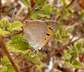 Small Copper. Lycaena Phlaeas. u-s - Flickr - gailhampshire.jpg
