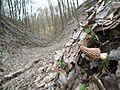 Smardz stożkowaty (Morchella conica).jpg