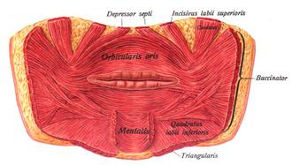 Buccinator muscle - Image: Sobo 1909 263