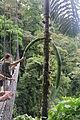 Socratea exorrhiza (11033784635).jpg