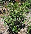 Solanum incompletum (4933769502).jpg