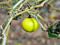 Solanum viarum fruit UGA1115026-4x3.jpg