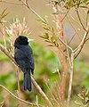 Solitary Cacique (Cacicus solitarius) (28639940053).jpg