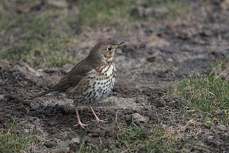 Song Thrush Lodz(Poland)(js)02.jpg