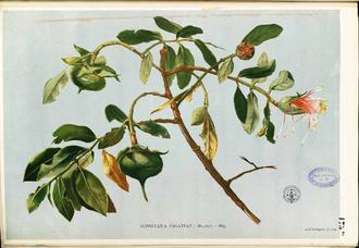 Sonneratia - Sonneratia pagatpat (Blanco 1837)