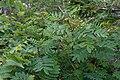 Sorbus matsumurana 06.jpg