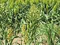 Sorghum bicolor flowerhead1 NWS - Flickr - Macleay Grass Man.jpg