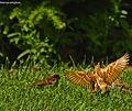 Sparrow In Flight.jpg