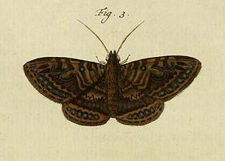 <i>Speiredonia itynx</i> species of insect